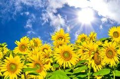Gebied van zonnebloemen onder heldere zon Royalty-vrije Stock Foto