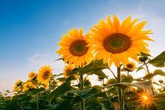 Gebied van zonnebloemen onder zonsonderganghemel Royalty-vrije Stock Foto