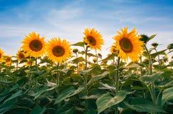 Gebied van zonnebloemen onder zonsonderganghemel Royalty-vrije Stock Afbeelding