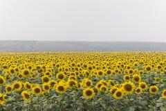 Gebied van zonnebloemen op mistige dag Bloeiende zonnebloemenweide in nevel De ZOMERlandschap stock fotografie