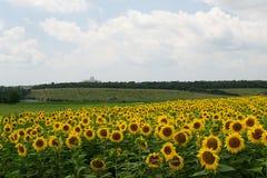 Gebied van zonnebloemen in Rusland Stock Afbeelding