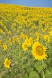 Gebied van zonnebloemen tegen blauwe hemel. royalty-vrije stock afbeelding