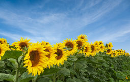 Gebied van zonnebloemen tegen van duidelijke blauwe hemel Royalty-vrije Stock Afbeeldingen