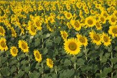 Gebied van zonnebloemen in Toscanië. stock afbeeldingen