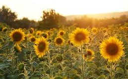 Gebied van zonnebloemen in Toscanië Stock Foto's