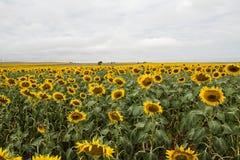 Gebied van Zonnebloemen in Zuid-Dakota stock fotografie