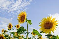 Gebieden 02 van zonnebloemen royalty-vrije stock foto