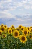 Gebieden 03 van zonnebloemen stock foto