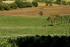 Gebieden die met aardappels in bloei worden geplant Royalty-vrije Stock Fotografie