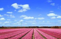 Gebieden met duizenden roze gekleurde tulpen stock foto