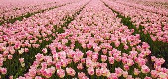 Gebieden met duizenden roze/gele gekleurde tulpen stock foto's