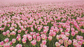 Gebieden met duizenden roze/gele gekleurde tulpen Royalty-vrije Stock Foto