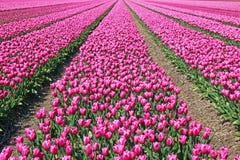 Gebieden met duizenden roze tulpen stock afbeeldingen