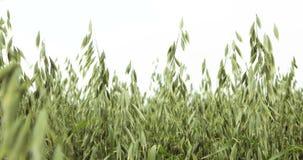 Gebieden met het biodiegoud van de haveravena sativa, uitgebreid als korrel wordt gekweekt, geschoten detail, veevoer, voedsel vo stock videobeelden