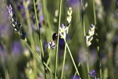 Gebieden met rijen van lavendel, met een insect over een bloem Bokeh Close-up royalty-vrije stock afbeeldingen