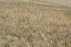 Gebieden met rijpe droge deegwarendurumtarwe in Sicili?, Itali?, klaar voor oogst royalty-vrije stock afbeelding