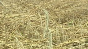 Gebieden met roggesecale cereale bio gouden die oor en klasse, uitgebreid als korrel wordt gekweekt, mooi Hana Landscape Of stock videobeelden