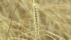 Gebieden met roggesecale cereale bio gouden die oor en klasse, uitgebreid als korrel wordt gekweekt, mooi Hana Landscape Of stock footage