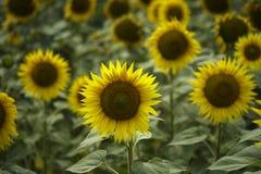 Gebieden met zonnebloem Stock Foto