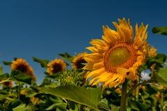 Gebieden met zonnebloemen Royalty-vrije Stock Foto