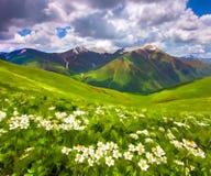 Gebieden van bloesembloemen in de bergen Stock Afbeeldingen