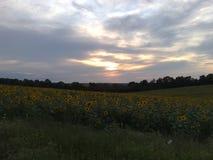Gebieden van de zonnebloem Stock Afbeelding