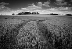 Gebieden van graan stock afbeelding