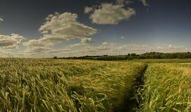 Gebieden van graangewas Stock Afbeelding