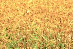 Gebieden van tarwe aan het eind van de zomer Stock Fotografie
