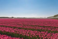Gebieden van tulpen Stock Afbeeldingen
