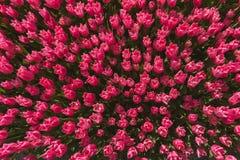 Gebieden van tulpen Royalty-vrije Stock Foto