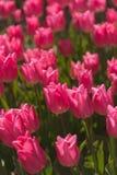 Gebieden van tulpen Royalty-vrije Stock Afbeeldingen