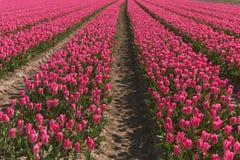 Gebieden van tulpen Royalty-vrije Stock Fotografie