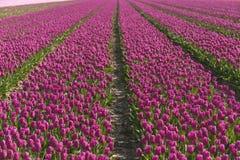 Gebieden van tulpen Royalty-vrije Stock Foto's