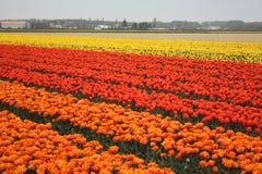 Gebieden van tulpen Stock Foto