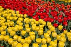 Gebieden van tulpen in Keukenhof-park in Nederland Royalty-vrije Stock Afbeeldingen