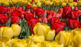 Gebieden van tulpen in Keukenhof-park in Nederland Royalty-vrije Stock Fotografie