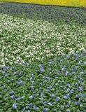 Gebieden van viooltjes die in een landbouwbedrijf worden gecultiveerd Stock Afbeelding