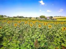 Gebieden van zonnebloemen op de heuvels van het Gebied van Marche op het Adriatische Overzees, Italië stock afbeelding