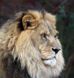 Gebiedende Mannelijke Leeuw stock foto's