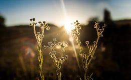 Gebiedsbloem met zonsondergang Stock Foto