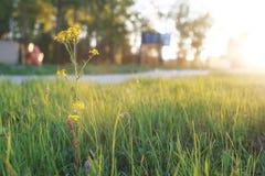 Gebiedsbloem op groene weide in de zonsonderganguur van de de lenteavond Stock Foto's