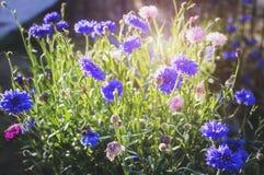 Gebiedsbloemen van cyanus van korenbloemencentaurea in het heldere zonlicht op een de zomerdag close-up, zachte nadruk royalty-vrije stock foto's