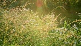 Gebiedsgras en madeliefjes in stralen van zonsondergang stock video
