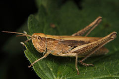 Gebiedssprinkhaan (Chorthippus-albomarginatus) Stock Foto's