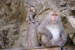 Gebirgsaffe mit Baby in Taiwan Stockbild