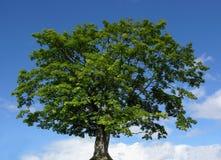 Gebirgsahornholzbaum und blauer Himmel lizenzfreies stockbild