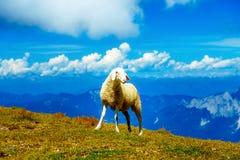Gebirgsalpine Weiden auf den Slowenen Schafe in den Bergen Lizenzfreie Stockfotografie