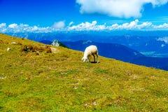 Gebirgsalpine Weiden auf den Slowenen Schafe in den Bergen Stockfoto