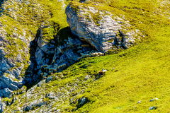 Gebirgsalpine Weiden auf den Slowenen Schafherden in den Bergen Stockbild
